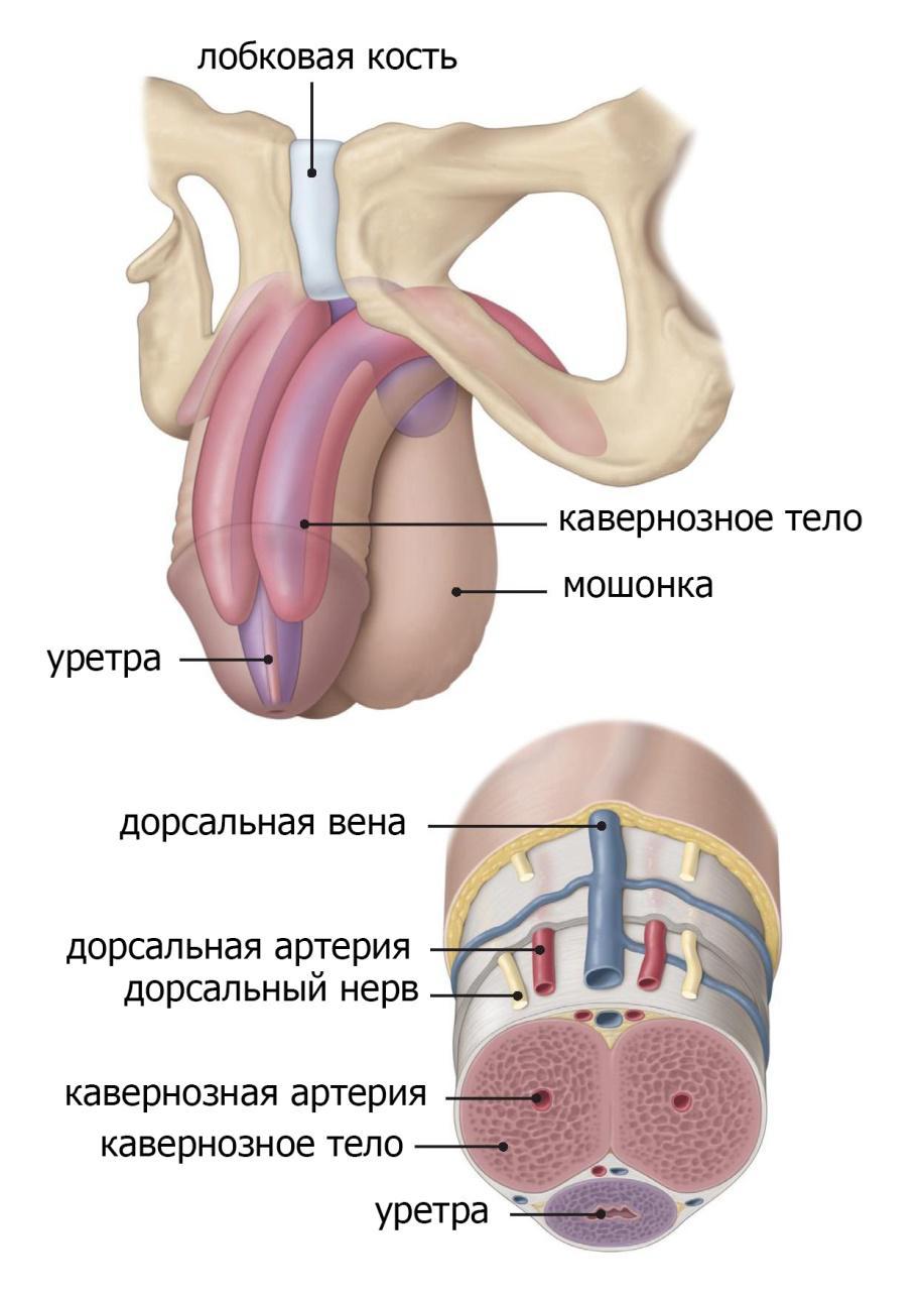 Половой член согнутый внутр