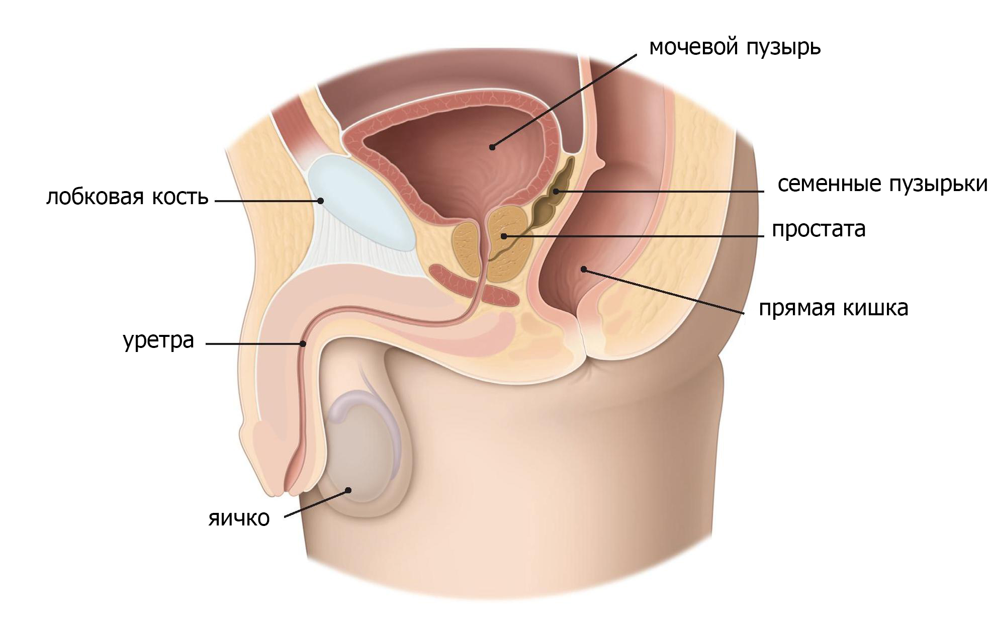 Предстательная железа у мужчин картинки